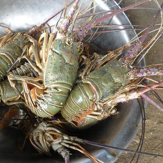 Lobsters 119 Penryn CC.jpg
