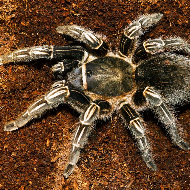 Tarantula-137-Penryn CC.jpg