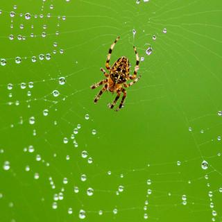 Morning Dew Drops - 126 - Penryn CC.jpg