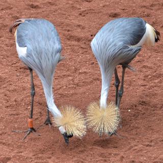 Crowned Cranes Bonding-105-Penryn CC.jpg