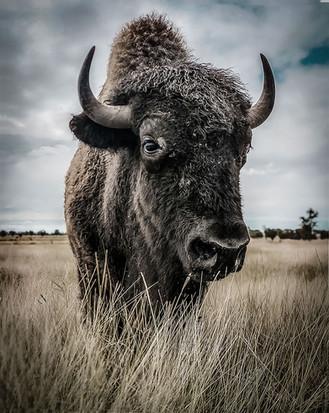Inquisitive Bison