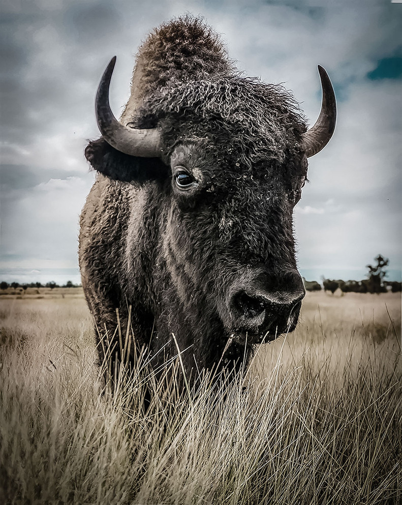 Inquisitive Bison