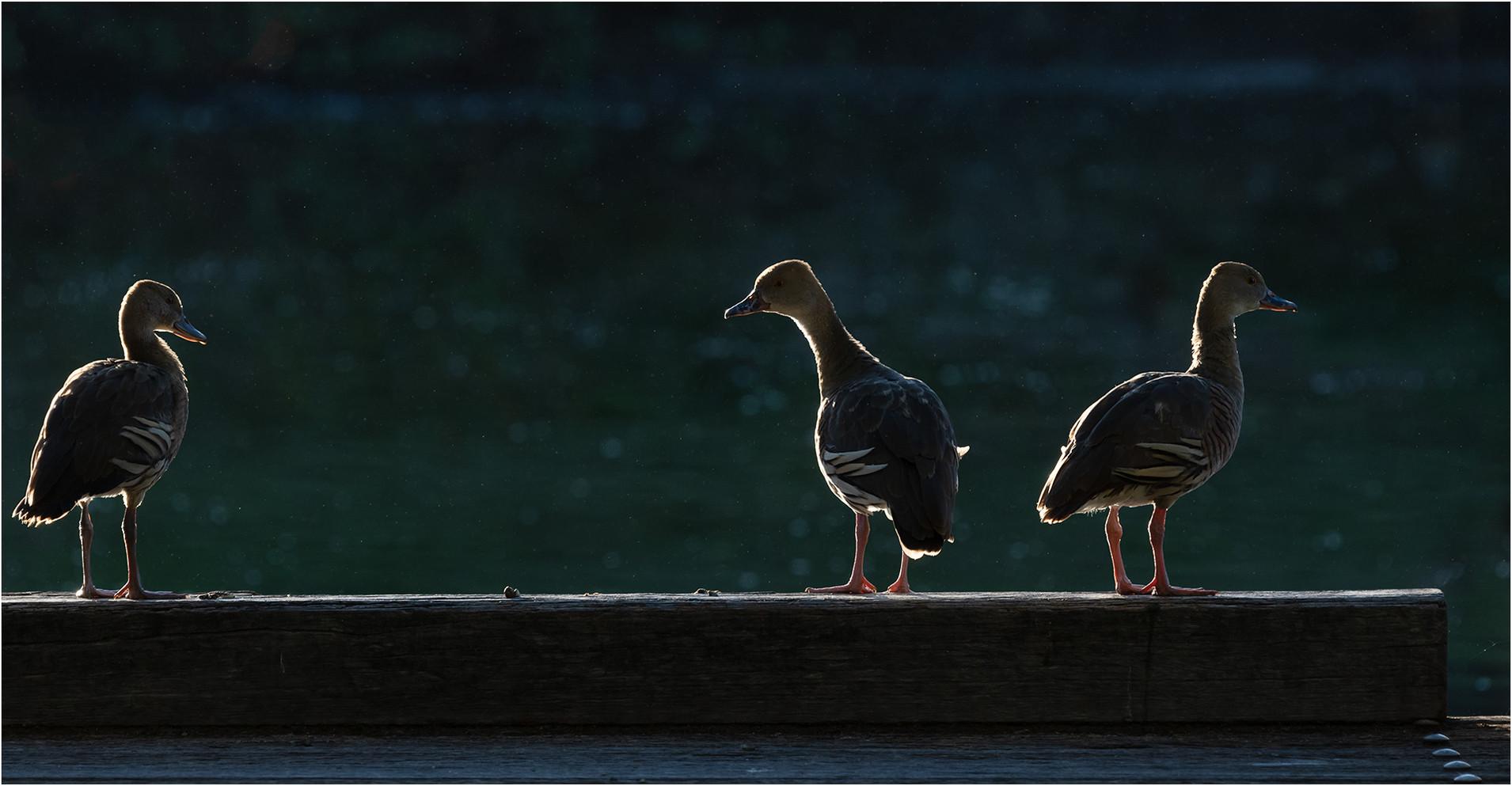 Three Ducks