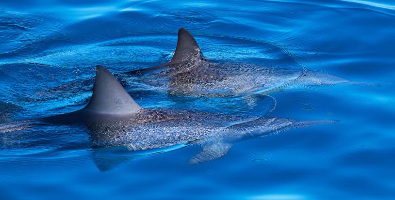 Spinner Daulphins
