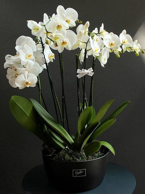 Antrasit Saksısında 3'lü Beyaz Orkide Aranjman