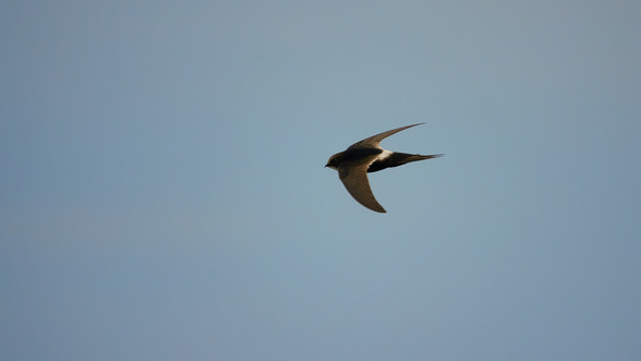 Swift White-rumped