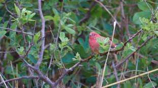 Firefinch Red-billed.jpg
