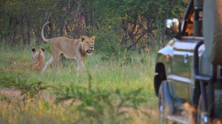 young lions dinokeng