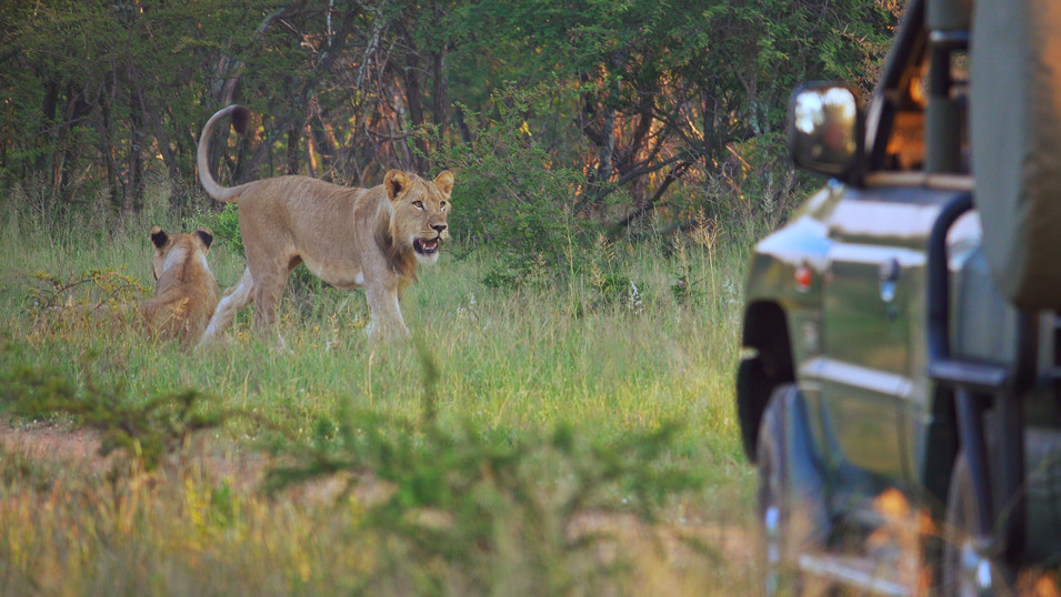Lions|king of the beasts|big 5|