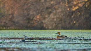 Duck Fulvous.jpg