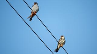Falcon Amur.jpg