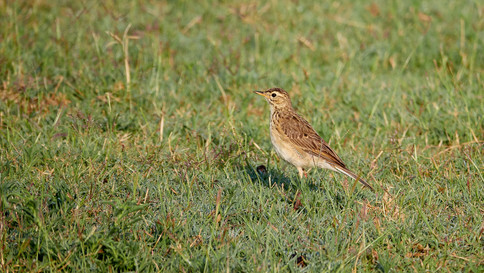 Pipit African