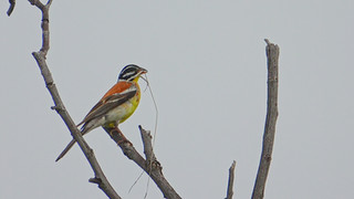 Bunting Golden-breasted.jpg