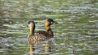 Duck White-backed.jpg