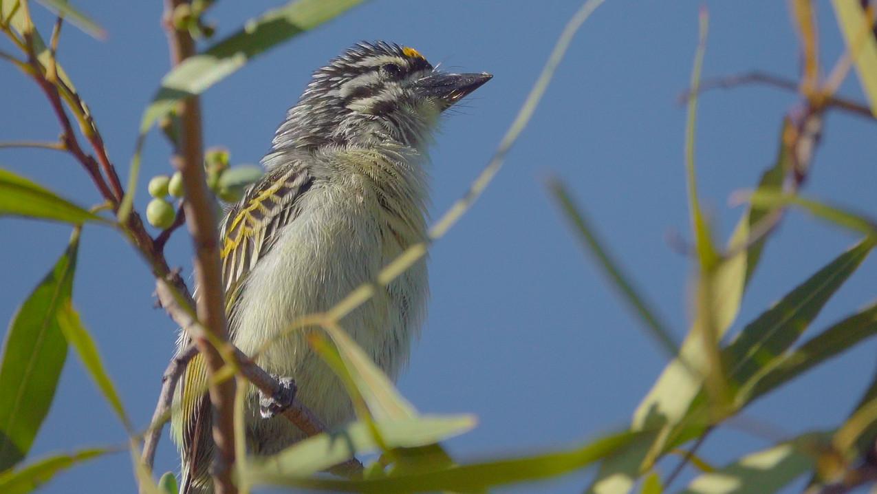 Tinkerbird Yellow-fronted