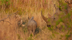 Rhino baby|rhino meets lion|watchful Mom