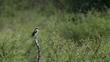 Shrike Lesser Grey