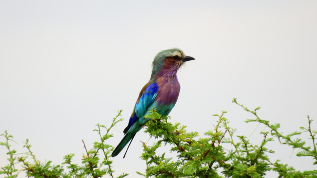 Roller Lilac-breasted