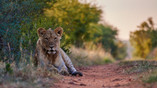 Resting lioness|My girl in the bush|Summer near Tamboti|