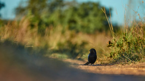 Magpie Shrike|Dinokeng Game Reserve|Lodges near Pretoria