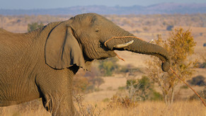 Elephant in the hills|Dinokeng|Elephant Eating|