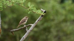 Flycatcher Spotted.jpg