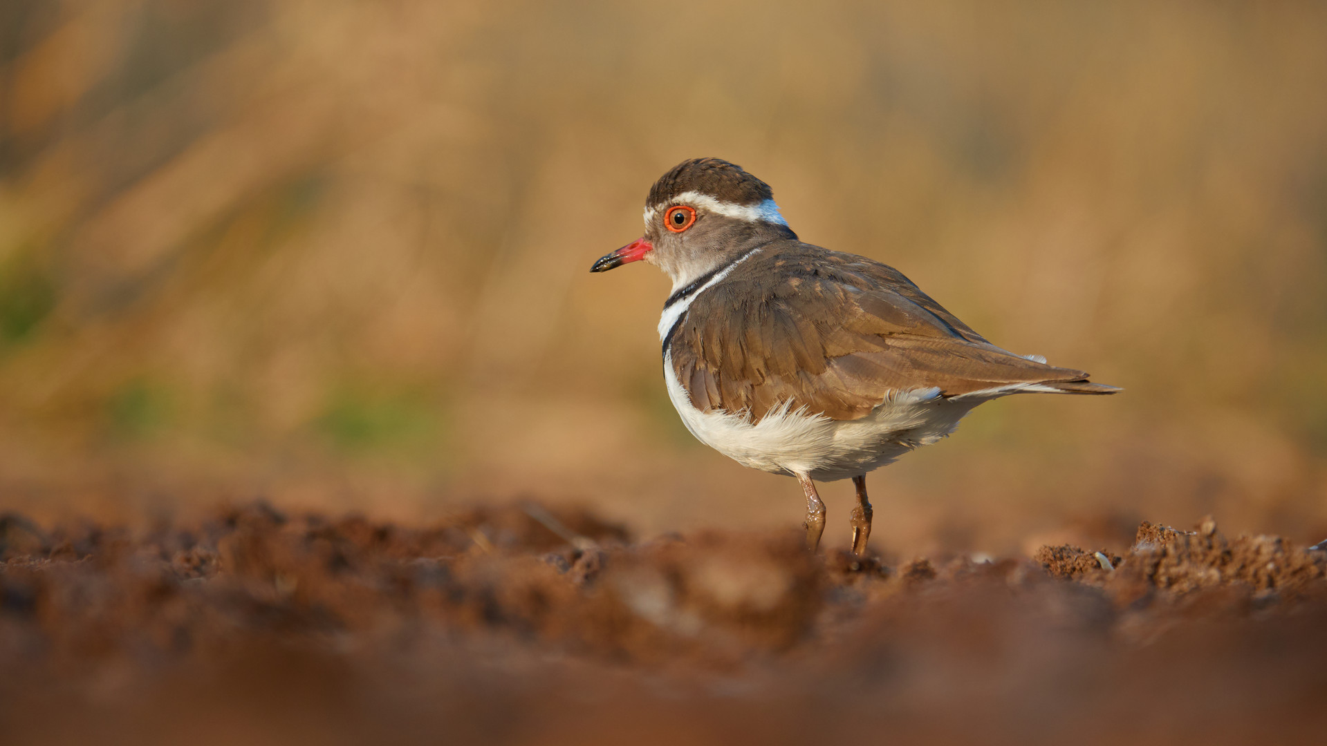Plover Three-banded