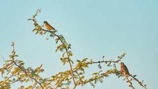 Finch Cut-throat.jpg