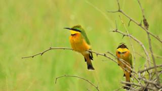 Bee-eater Little.JPG