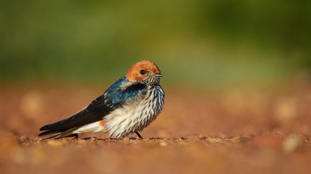 Swallow Lesser Striped