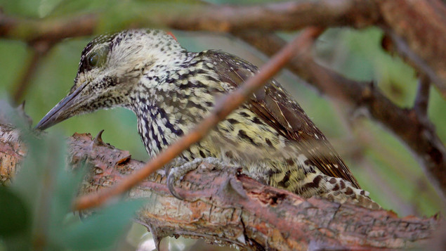 Woodpecker Golden-tailed