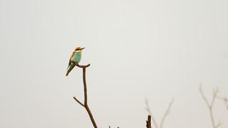 Bee-eater European.jpg