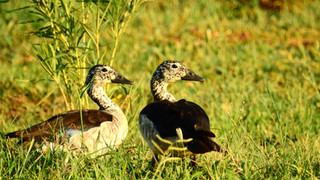 Duck Knob-billed.JPG