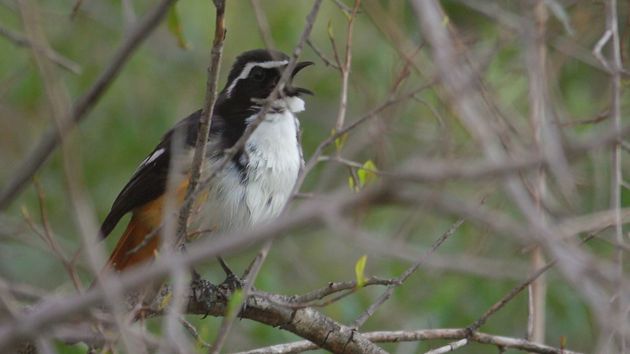 Robin-Chat White-throated