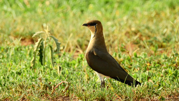 Pratincole Black-winged