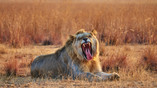 Lion roaring|Lion Smiling|Lion ready for the kill