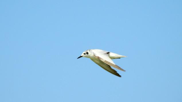 Tern White-winged