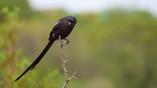 Shrike Magpie