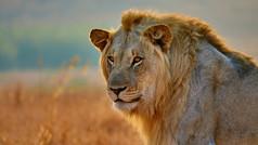 Young Male lion|watching a zebra|hopeful