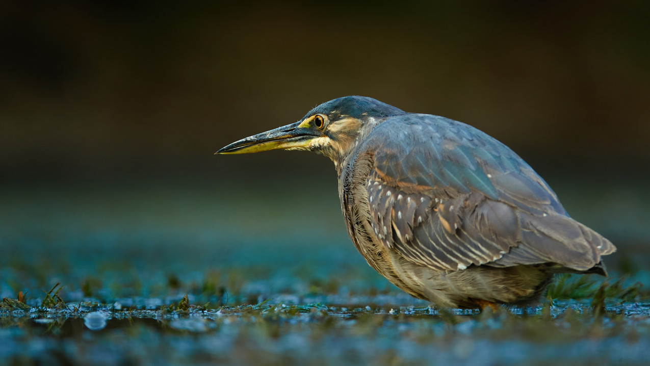 Green Backed Heron|Heron Fishing|Heron in the water