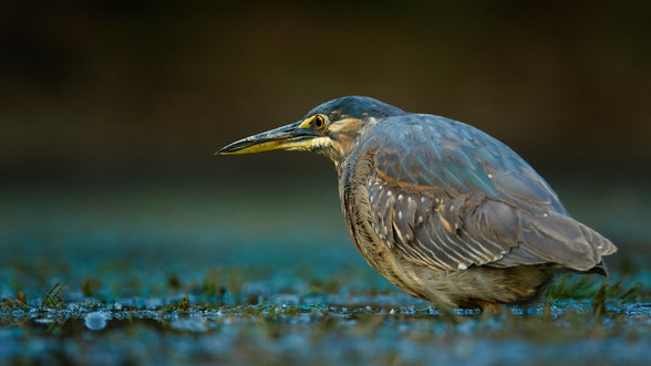 Green Backed Heron|Heron Fishing|Heron in the water