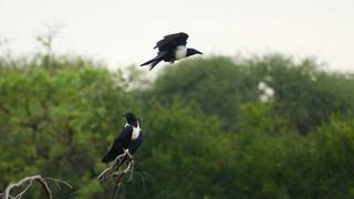 Crow Pied.jpg