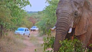 elephant matriarch