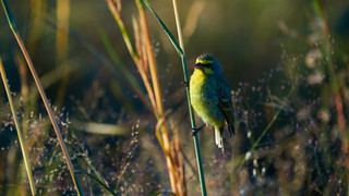 Canarie Yellow-fronted.jpg
