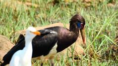 Stork Abdim's