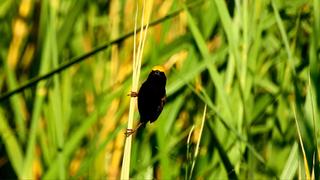 Bishop Yellow-crowned.png
