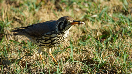 Thrush Groundscraper