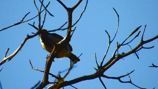 Barbet Acacia Pied.png