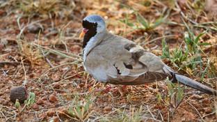 Dove Namaqua.jpg