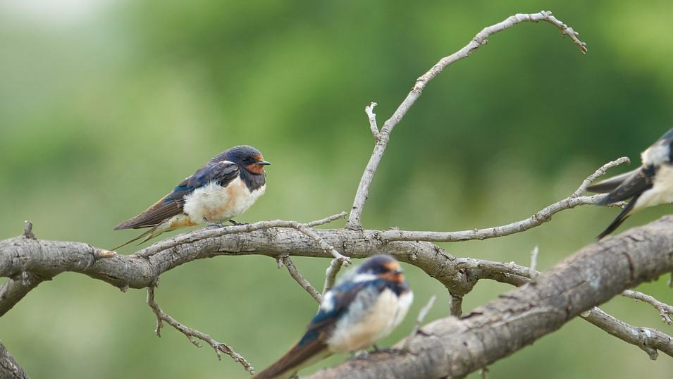 Swallow European
